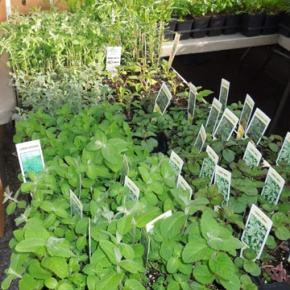 Warm Weather Brings Early Herbs, Greens To Farmers'Markets